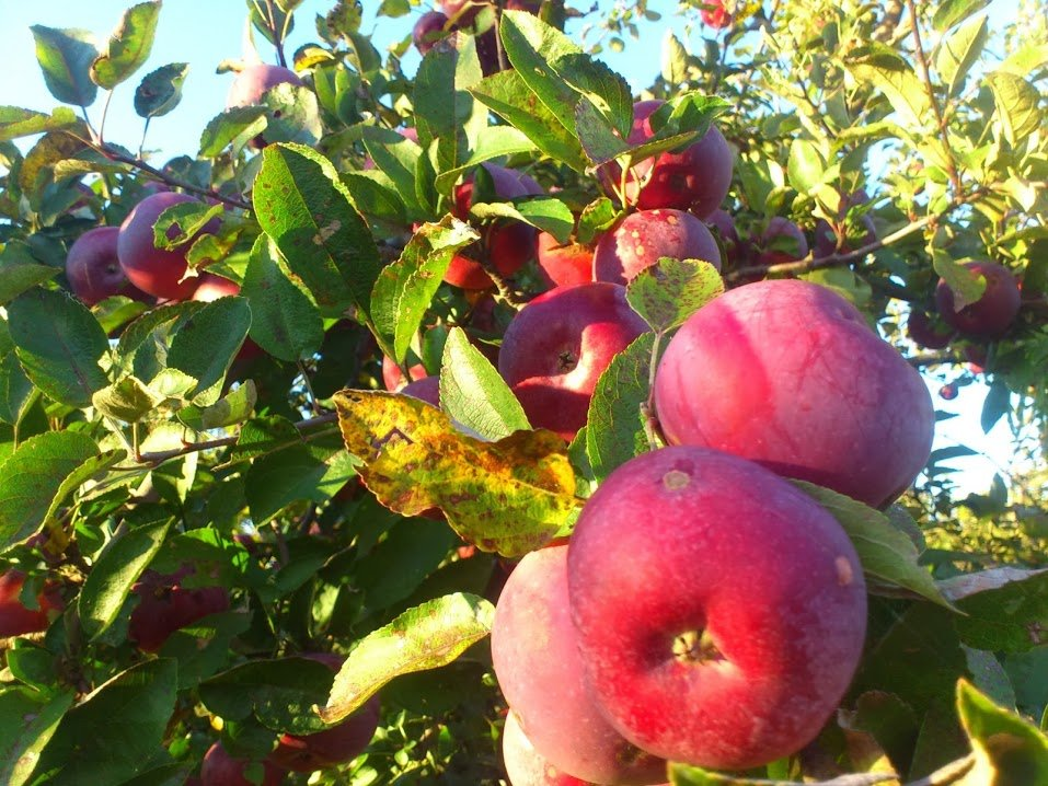 garden of eden in Quebec - miracle farms apple trees